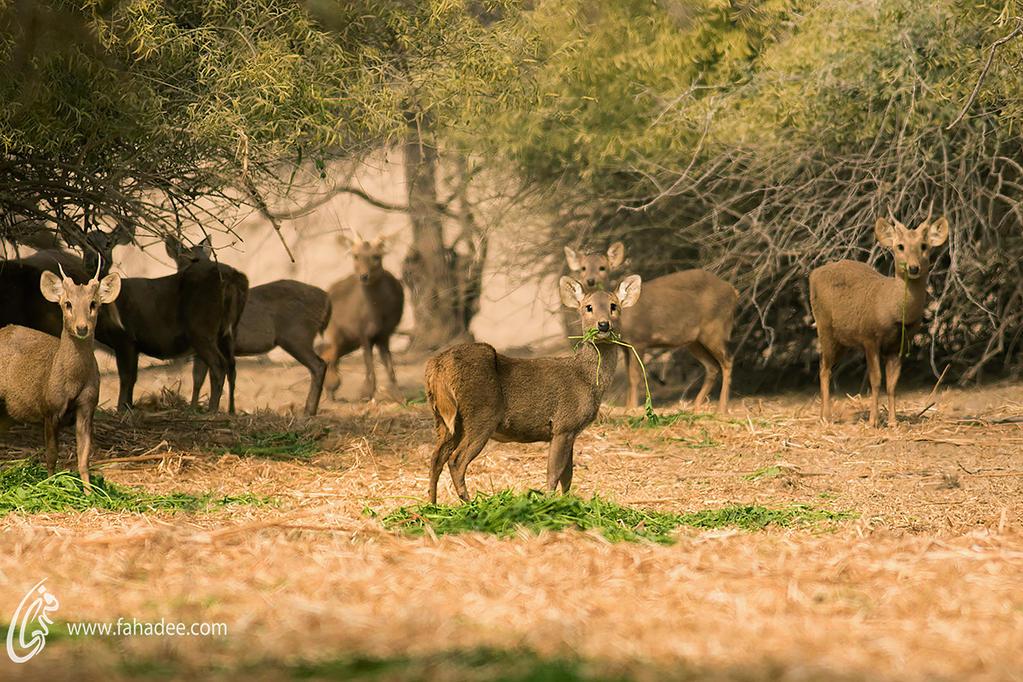 Hog Deers by fahadee