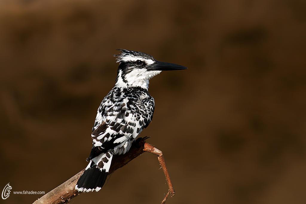 Pied kingfisher by fahadee