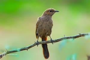 Indian Robin Juvenile by fahadee
