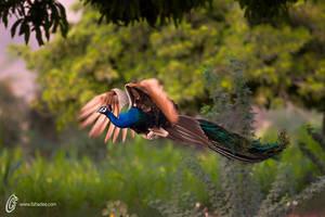 Indian peafowl by fahadee