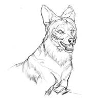 Dhole by markedwolf