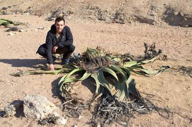 welwitschia mirabilis 4