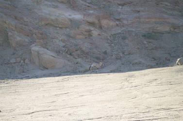 antelope camo