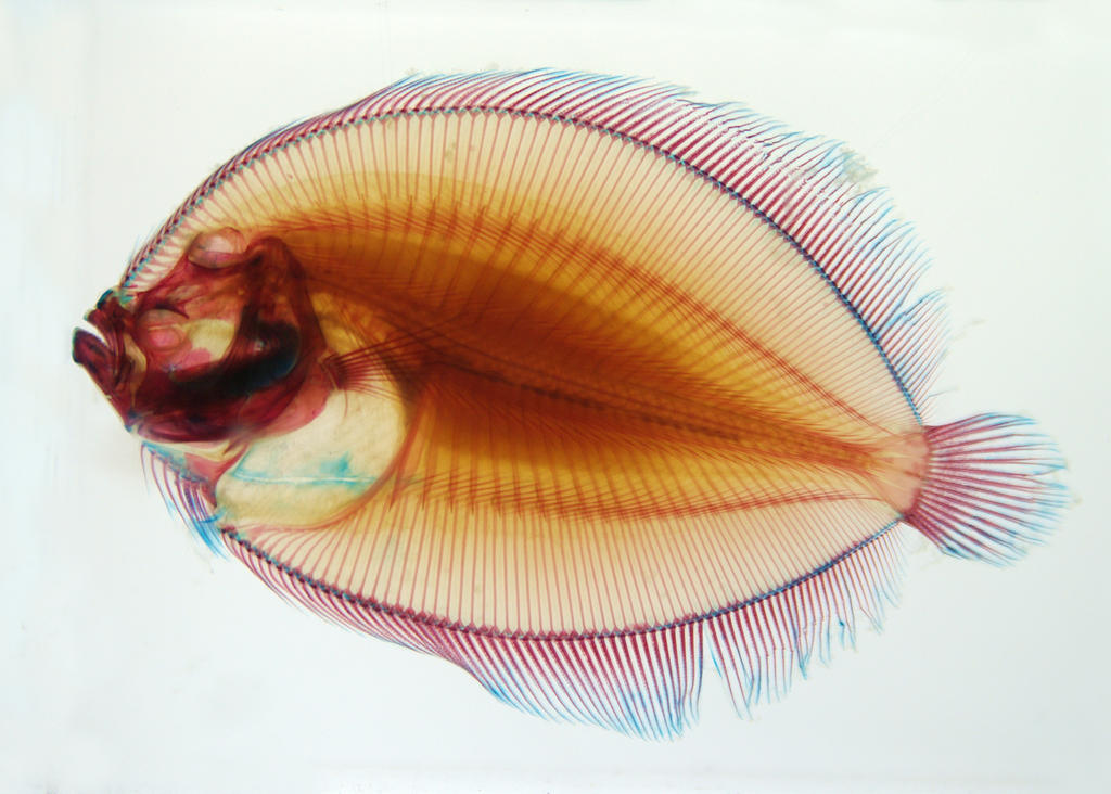 X ray fish by slartyb52 on deviantart for X ray fish