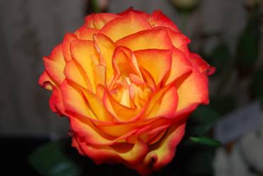 Fantasy Rose by Gullinka