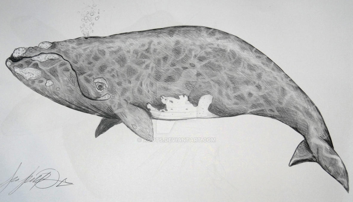 Right whale pencil drawing by xoots on deviantart