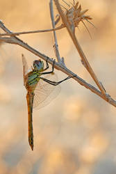 Sympetrum fonscolombii by RGSeby