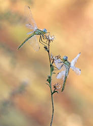Sympetrum fonscolomii,brotherhood grass. by RGSeby