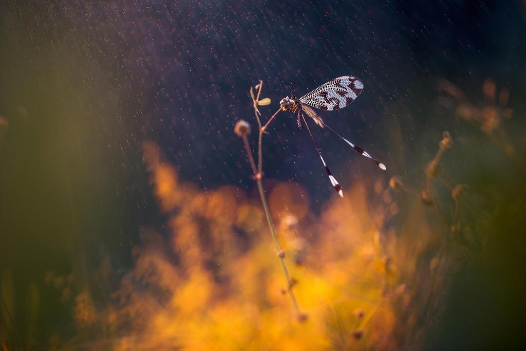 Nemoptera bipennis by RGSeby