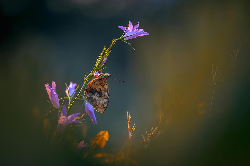 Brenthis daphne by RGSeby