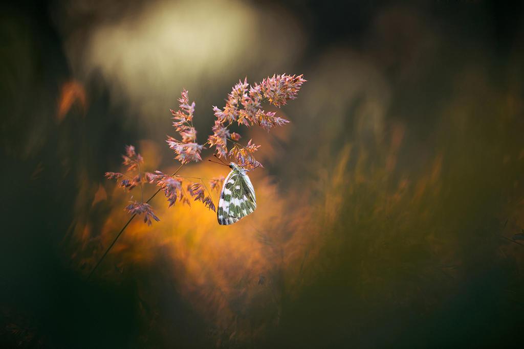 Pontia daplidice by RGSeby