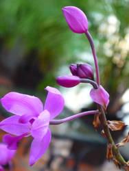 Violet Orchid by rashel-shiru