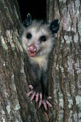 Happy Opossum by CapscesDigitalInk