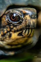 Box Turtle a portrait