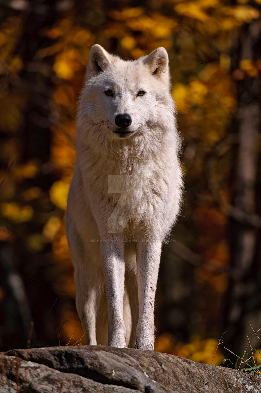 Wolf Front View | www.pixshark.com - Images Galleries With ...