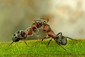 Ants by Japers
