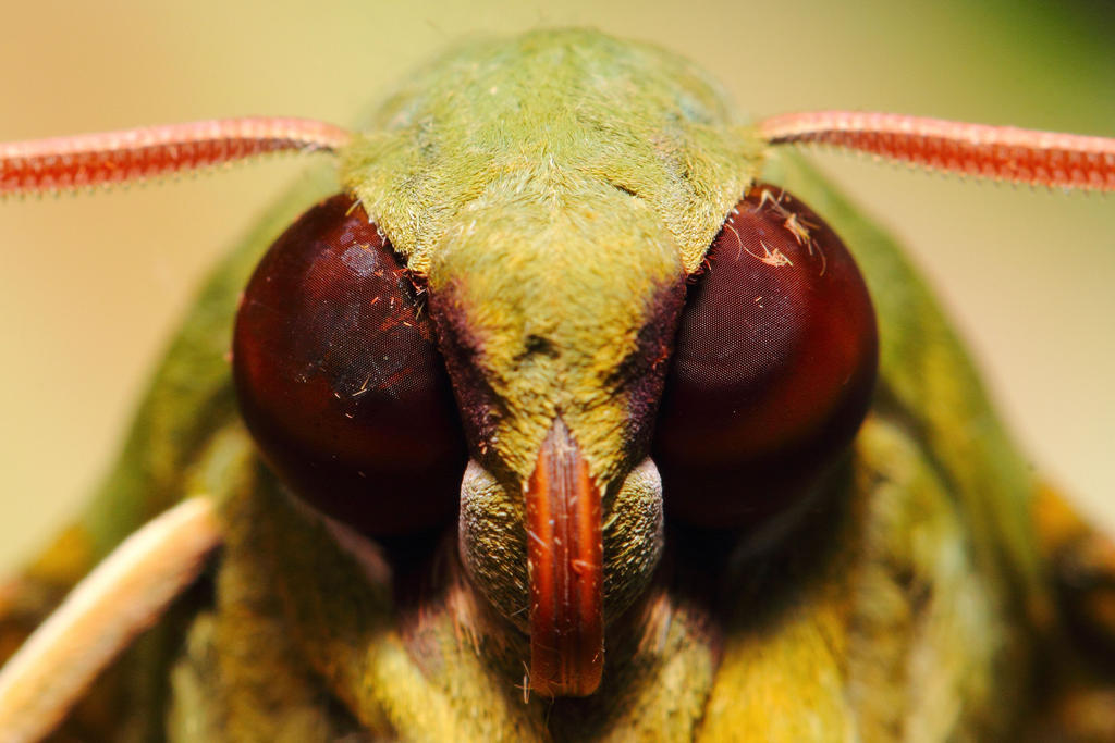 Gaudy Sphinx Moth by Japers
