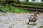 31 Janvier - Une vie de canard (23/26)
