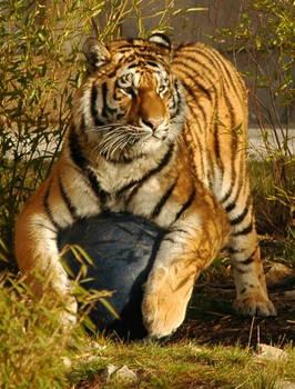Panthera tygrys (and ball)