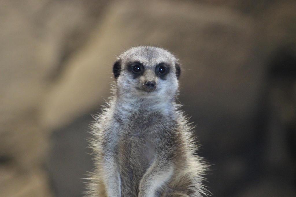 Meerkat by tammyins