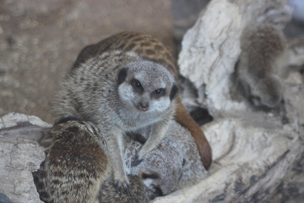 Meerkat Bundle by tammyins