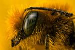 Miner Bee at 4x
