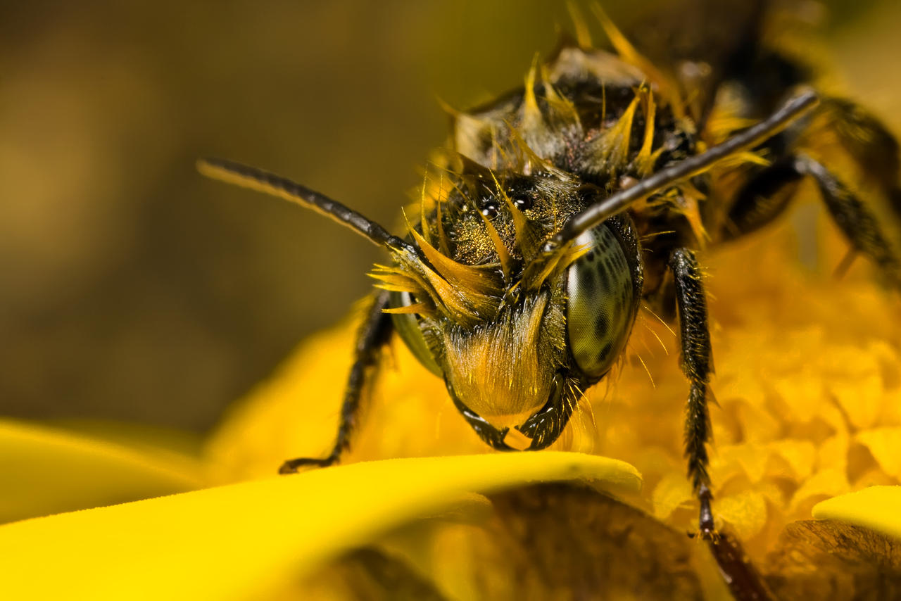 Miner Bee HDR