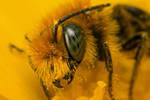 Miner Bee at 2x_II