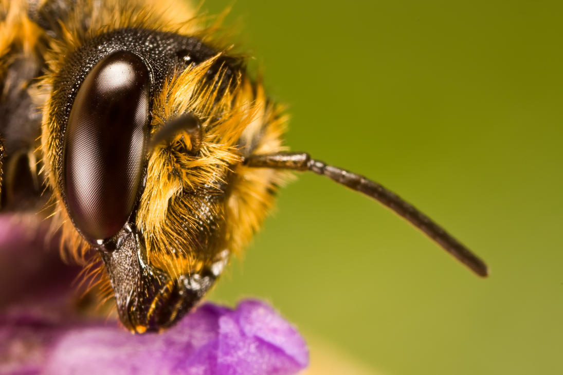 July Solitary Bee I by dalantech