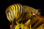 Hungry Hoverfly VI