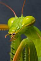 Mantis Portrait by dalantech