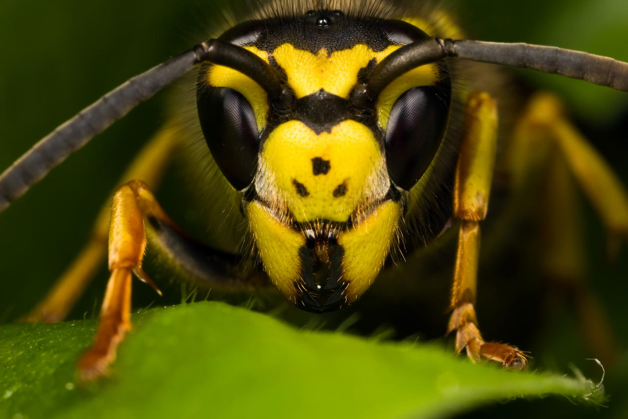 Queen Wasp Size Quee   Queen Wasp Size