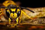 Wasp Reflection I