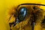 Mason Bee at 4x III