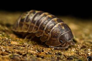 Pill Bug by dalantech