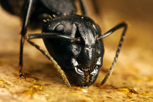 First Carpenter Ant of 2009 by dalantech