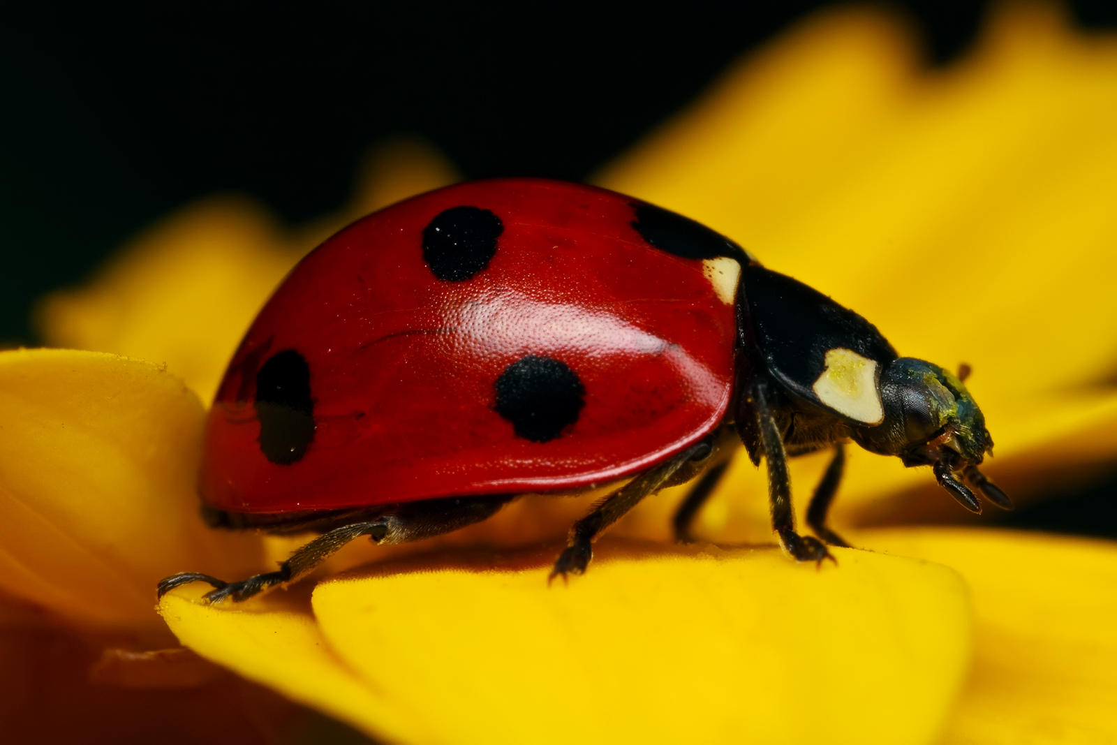 Ladybug on Yellow by dalantech