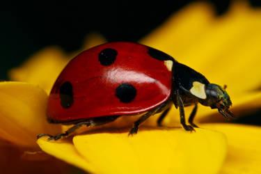 Ladybug on Yellow by dalantech