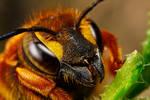 Cuckoo Bee Portrait III