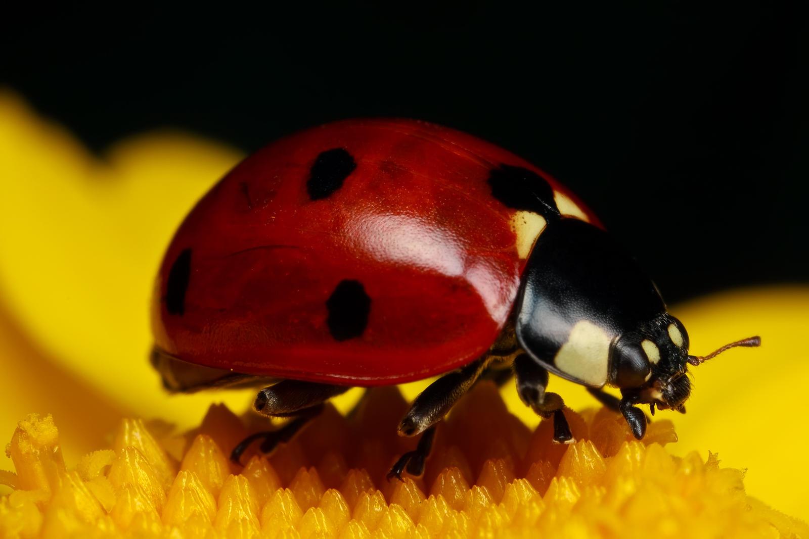 Ladybug on Yellow III by dalantech