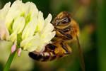 Honeybee in Clover I