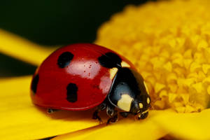 Ladybug on Yellow IV by dalantech