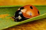 Ladybug on Green I