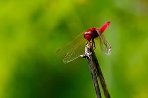 Scarlet Darter I by dalantech