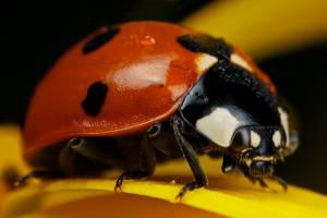 Ladybug on Yellow V by dalantech