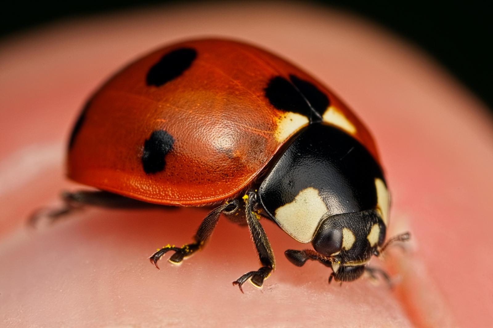 My Pet Ladybug