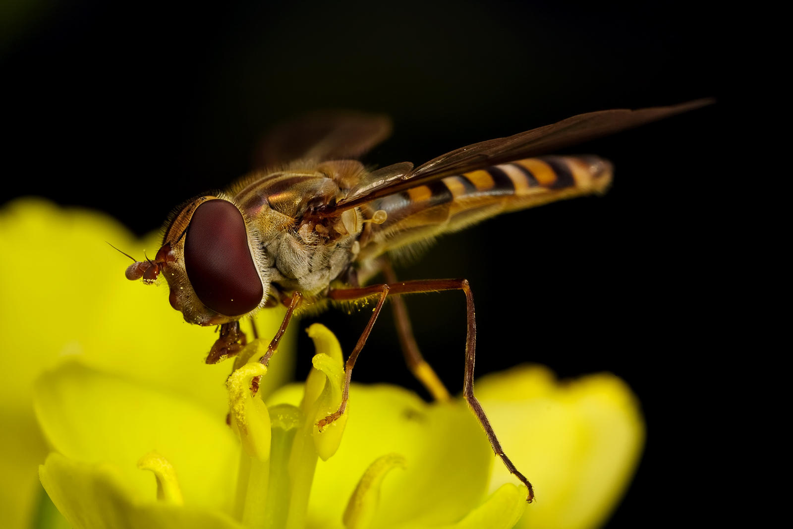 Winter Hoverfly by dalantech