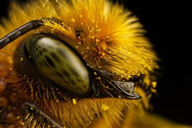 Mason Bee at 5x by dalantech
