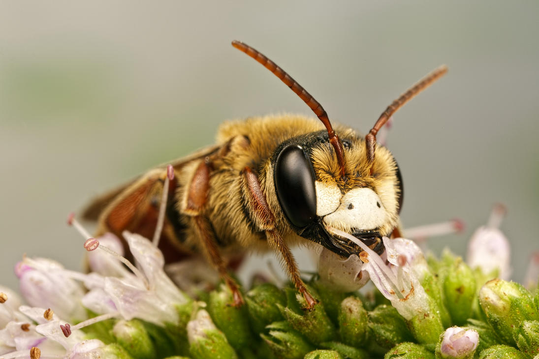 Solitary Bee on Mint VI by dalantech