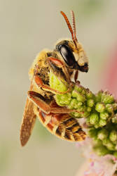 Solitary Bee on Mint VII by dalantech
